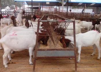 降低外地購羊死亡率的三個方法