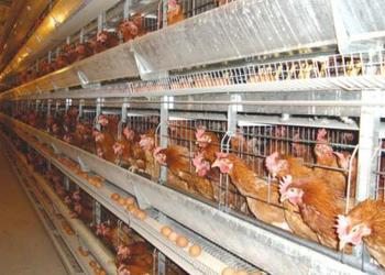 養雞技術:春季怎么可以讓雞多產蛋?