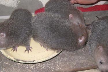 竹鼠特种养殖项目投资成本效益分析