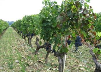 葡萄栽種創業故事:制作冰葡萄酒賺錢招術