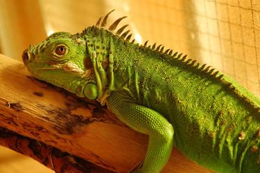 蜥蜴的生活習性,特點,食物及繁殖