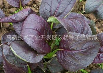蔬菜栽培:紫葉小白菜栽種技術