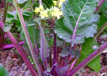 特種蔬菜:有機富硒紅菜薹營養高很受市場歡迎
