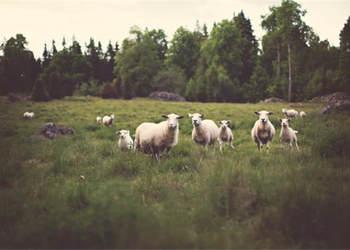 養羊創業:2018年農民養小尾寒羊有補貼嗎?能補貼多少錢?