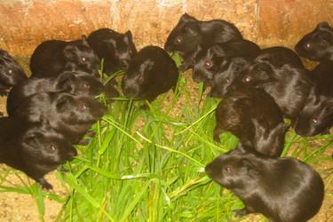 豚鼠特养创业:规模化黑豚饲养项目的前景