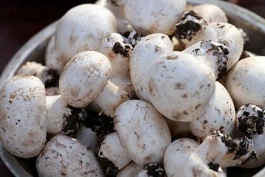 種植雙孢菇的創業故事-附秸稈栽培雙孢菇方法