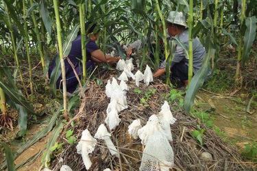 创业项目:玉米地里立体栽种竹荪[视频]
