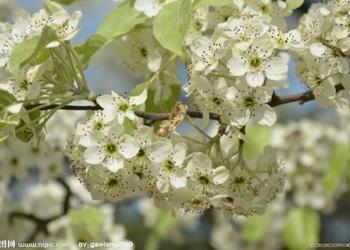 藥食及觀賞兼用的杜梨栽種技術