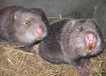 野生竹鼠的捕捉及飼養方法