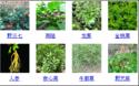 種植創業項目:中藥材要慎選品種及科學栽種