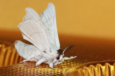 圖示詳解蠶寶寶變成飛蛾的生長過程