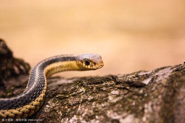 养蛇:乌梢蛇饲养与加工利用方法