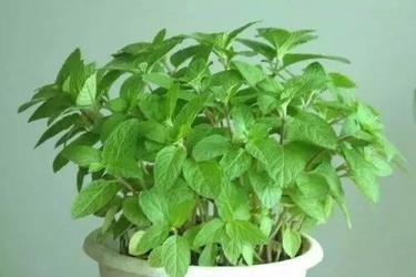 家庭陽臺盆栽薄荷 清新香氣源源不斷
