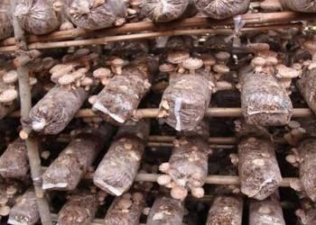 稻麥秸稈原料栽種蘑菇操作技術流程