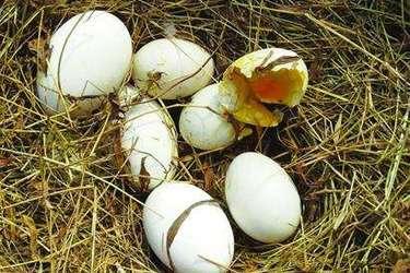 人工飼養的野鴨蛋市場銷價高[視頻]