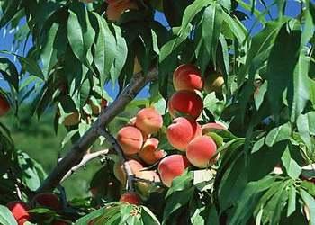 果樹高接換種技術(桃樹為例)