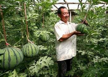 央视视频:西瓜大棚吊蔓栽种培养技术