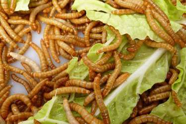 創業故事:黃粉蟲養殖與深加工產品