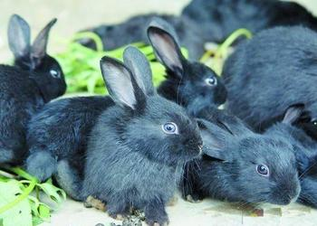 长毛兔、獭兔及肉兔的选种及选配技术要点