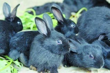 長毛兔、獺兔及肉兔的選種及選配技術要點