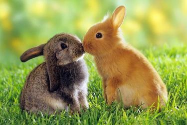 如何区别野兔和家兔?