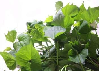 菜用紅薯葉大田種植技術及家庭盆栽要點