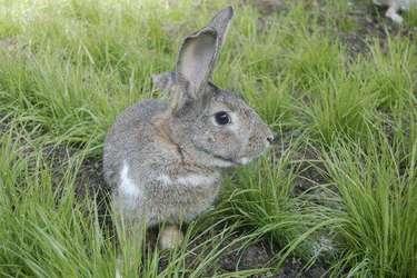 活兔宰殺及二種兔肉熟食加工方法