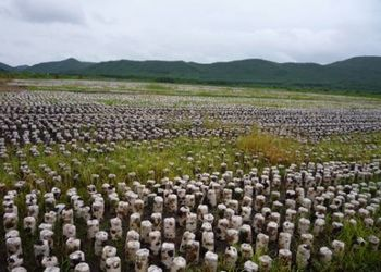 仿生黑木耳與單季水稻輪作新技術[視頻]