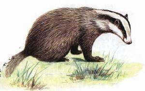 獾子(狗獾/沙獾)的生活習性有哪些?