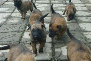 养狗专题:10种适合饲养的肉狗品种
