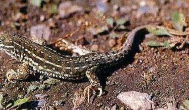 特養專題:兼具藥用與觀賞的麻蜥蜴飼養