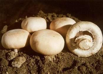雙孢菇的林下仿野生人工栽植方法