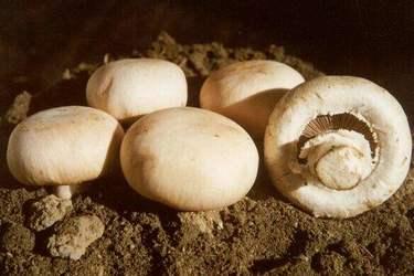 林下栽種雙孢菇的標準化栽培操作技術