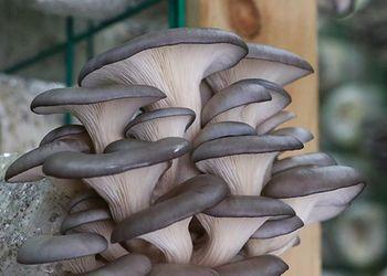 平菇发生畸形的原因及防治方法