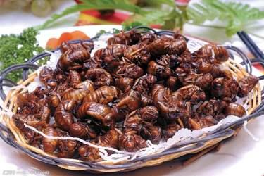 金蝉的营养价值及功效(特种养殖)