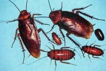 特種養殖:蟑螂基本特征與生活習性