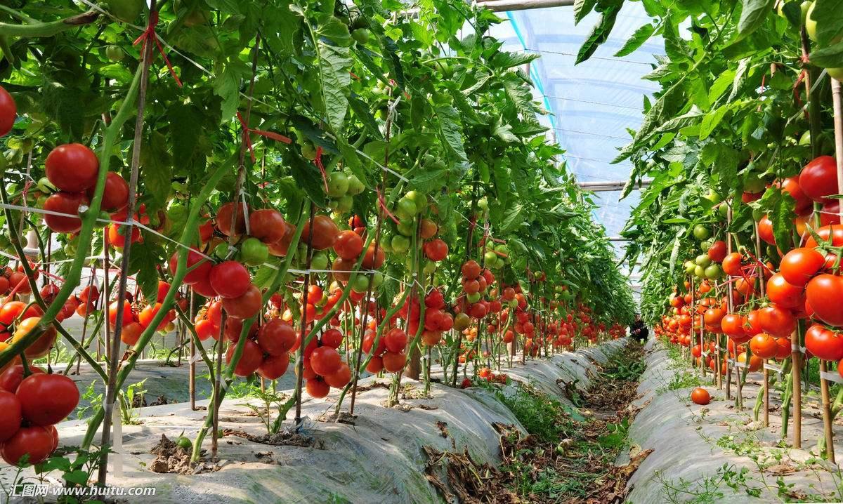 西红柿如何种植,要注意些什么?