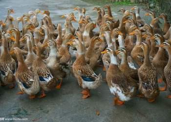 家禽養殖專題:養鴨技術要點總結
