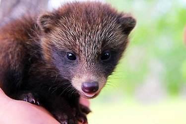 種獾的選種選配及獾的繁殖技術
