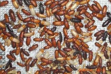 央視農廣校:怎樣飼養黃粉蟲(視頻技術指導)