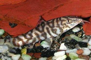 主要的泥鰍養殖品種有哪些?