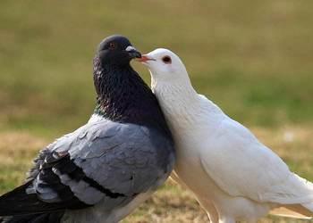 經驗之談:20條養鴿制勝法寶[視頻]