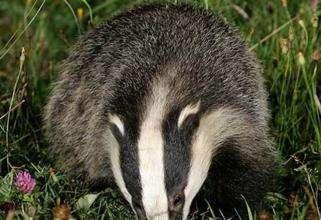 人工養獾的飼料、營養與日糧配用