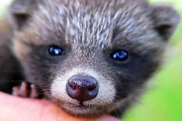 怎樣做好狗獾飼養中的疾病防治