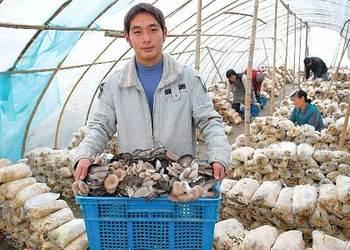 蘑菇大棚一棚三茬食用菌栽种高产模式