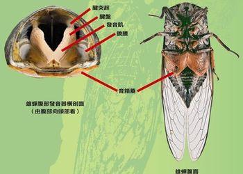 生物科普知識:金蟬的基本形態與生活習性