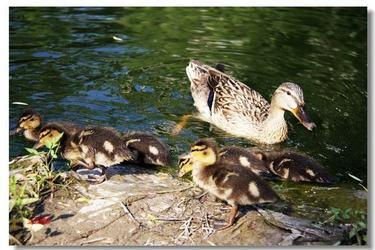 野鴨各階段飼養管理與人工孵化技術