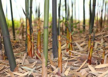 (蔬菜专题)我国主要竹笋品种的形态及其习性