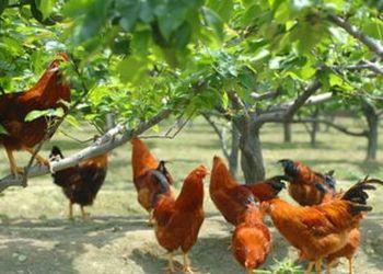 果園生態養雞技術要點[視頻]