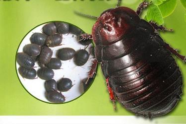 土元与蝎子、蟑螂、壁虎及兔子混养模式